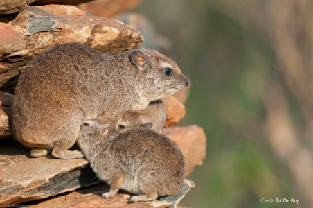 Kissing Cousins: The Hyrax and The Elephant
