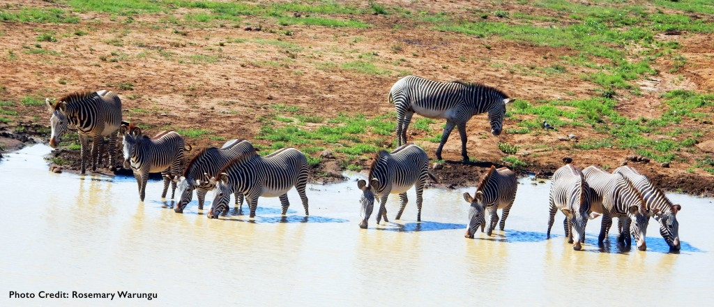 Grevy's zebra at a watering hole