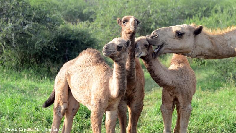 camel_gallery_1