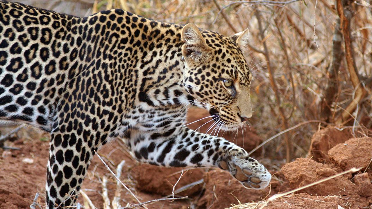 what is the amur leopards predators
