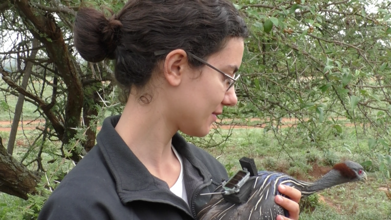 Danai Papageorgiou, Ph. D Candidate, Max Planck Institute for Ornithology Danai Papageorgiou tracks the group movement and behaviour of Vulturine Guineafowl.