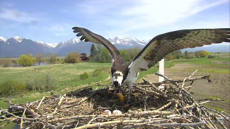 Osprey_Charlo Second Egg_awolTom_5.6.18