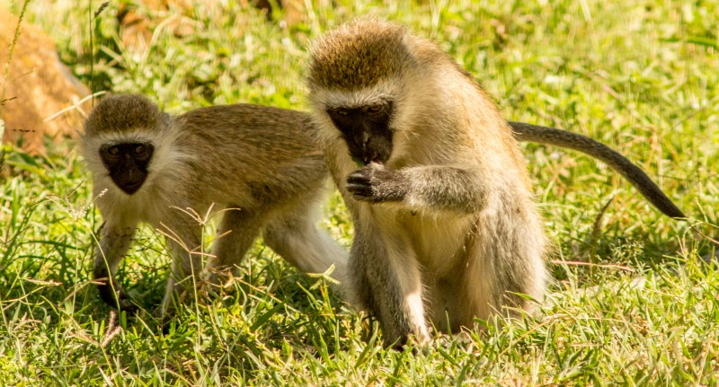 Vervet monkeys on Mpala