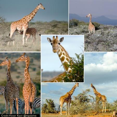 Giraffe Montage-creds