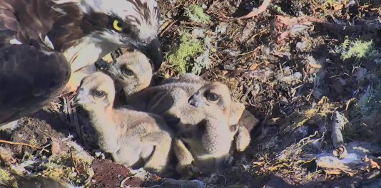 UPDATE: Hog Island Osprey Chick Naming Contest!