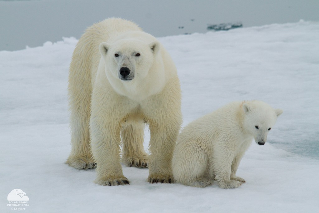 A mother polar bear and her cub on the sea ice off the coast of Svalbard, Norway.