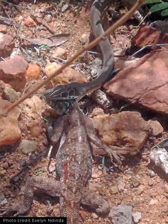 A sand snake killing an agama lizard