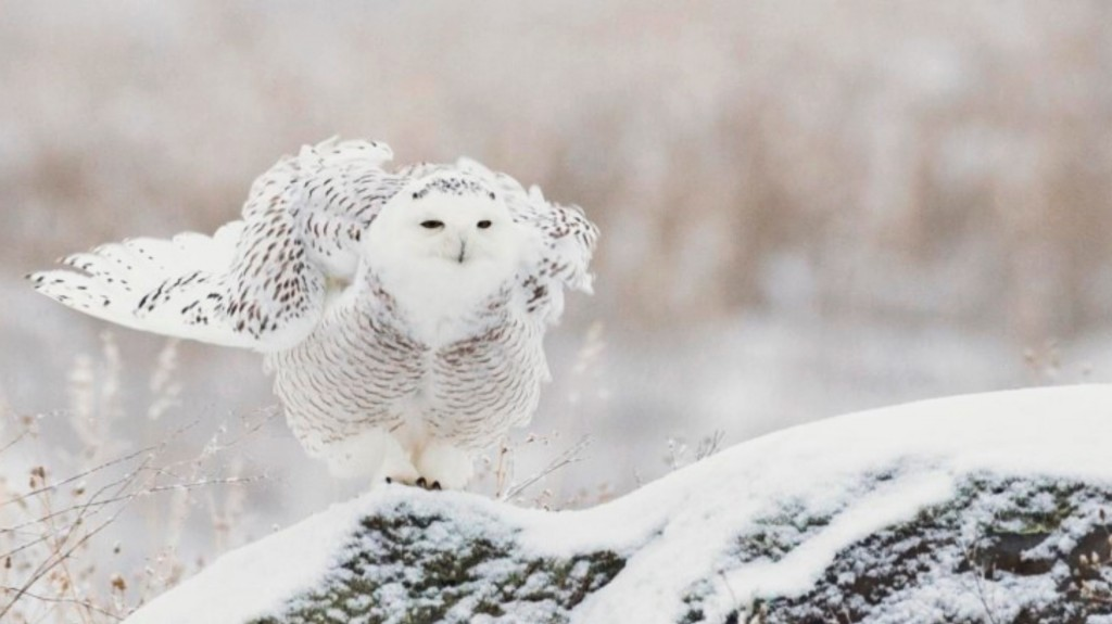 Snowy-Owl-buffetting-wind_Fotor