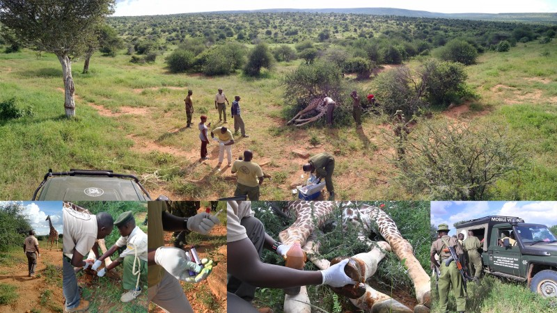 Vet Dr Domnic Mijele OF KWS and the Mpala team treating two wounded giraffes. One had a snare wound on its leg