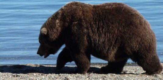 2018 Bearcam Stories: The Elders of Brooks River