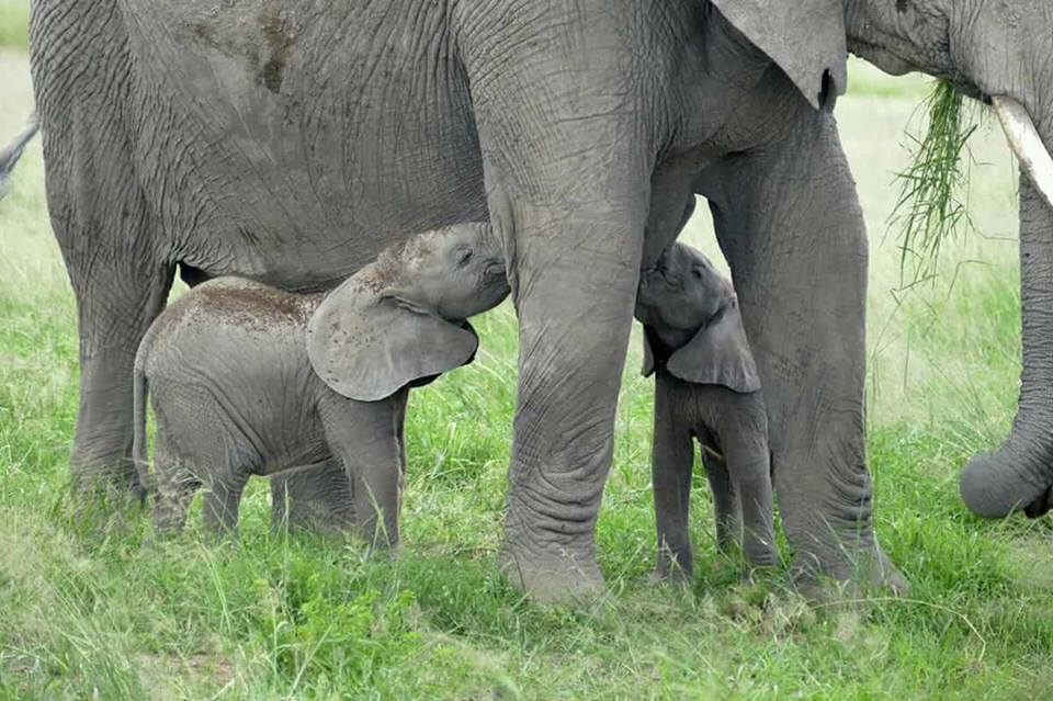 Meet Norah and Katitu born in the Amboseli, in Kenya  Photo courtesy KWS