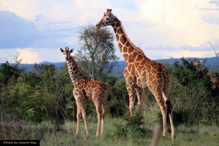 Wounded Giraffes Treated in the Wild