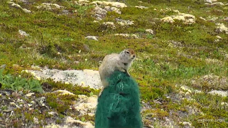 Ground squirrel on Dumpling Mtn microphone