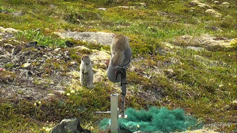 Two ground squirrels fight over the microphone on Dumpling Mtn