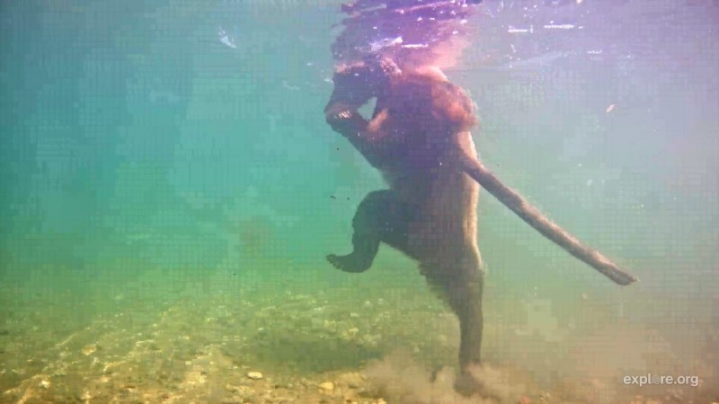 Bear plays with stick in front of the underwater cam
