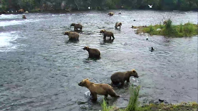 even more bears at the falls