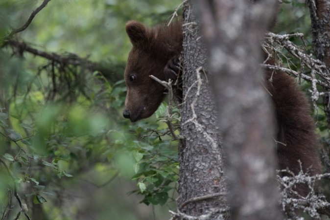 132's cub in tree
