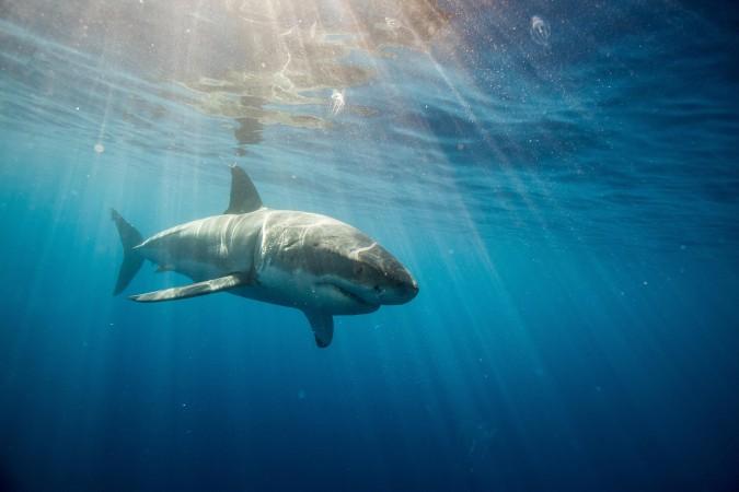 Mexico_GreatWhiteShark_Underwater_0034_090116 copy