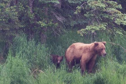 bear 132 and cub