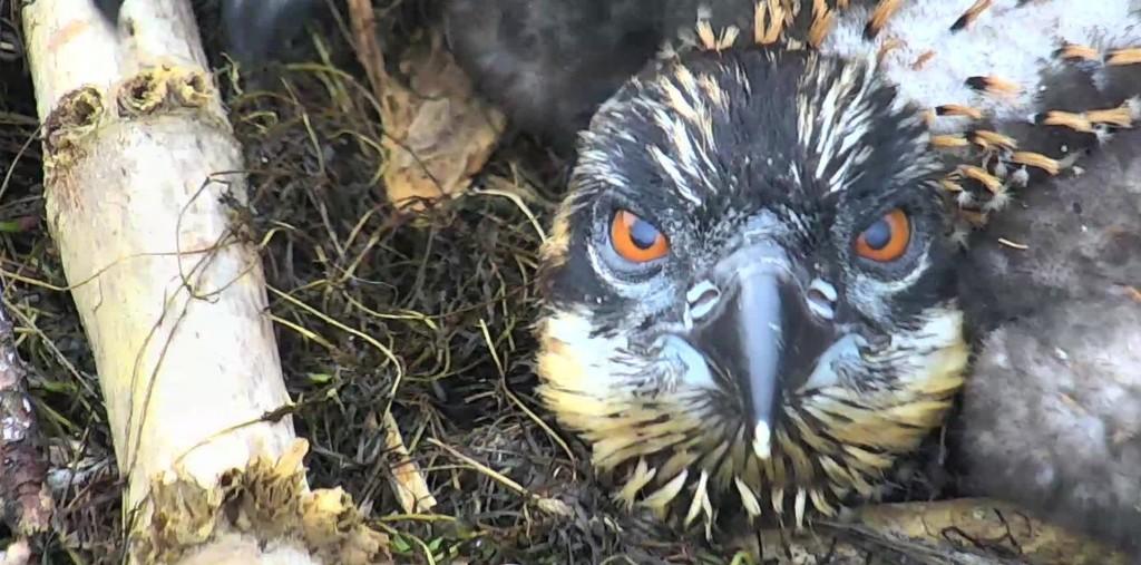 cc osprey homebird blog
