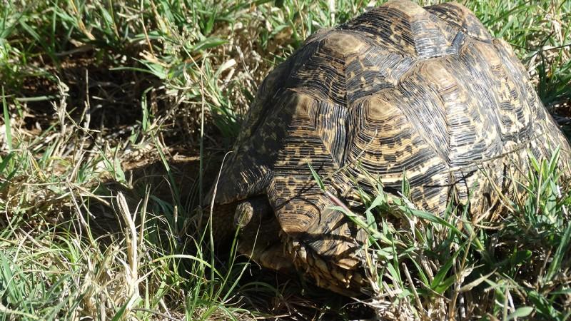 leopard-tortoise_gallery_1