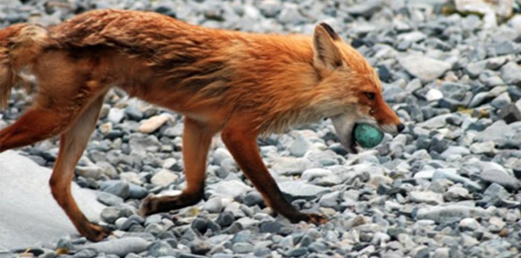 round island fox blog