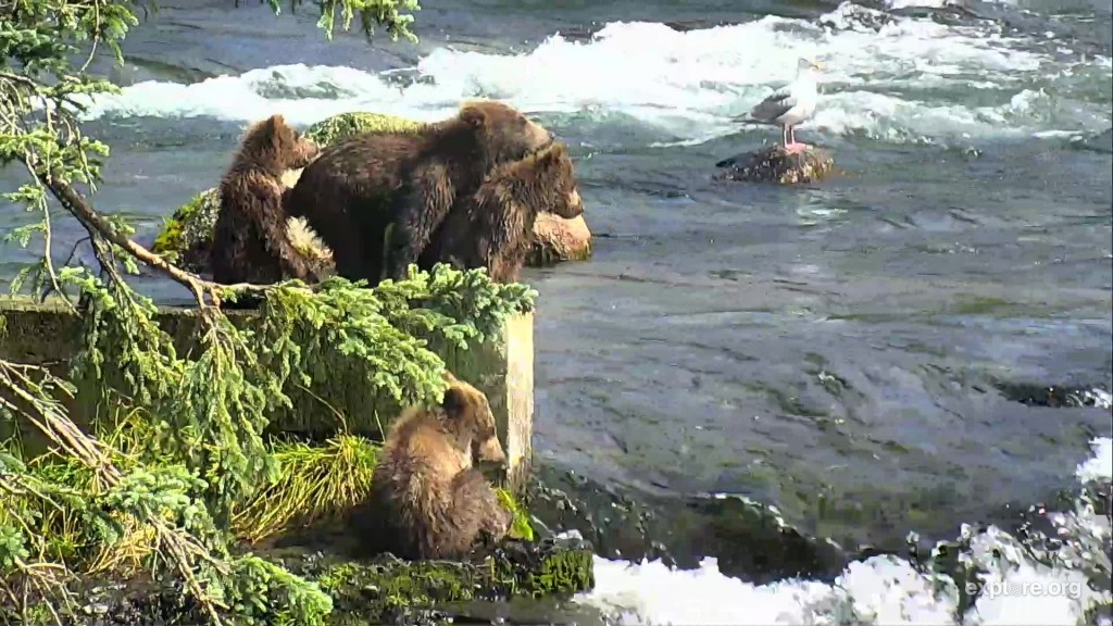 402's coy sit on the fish ladder Snapshot by CamOp Scout