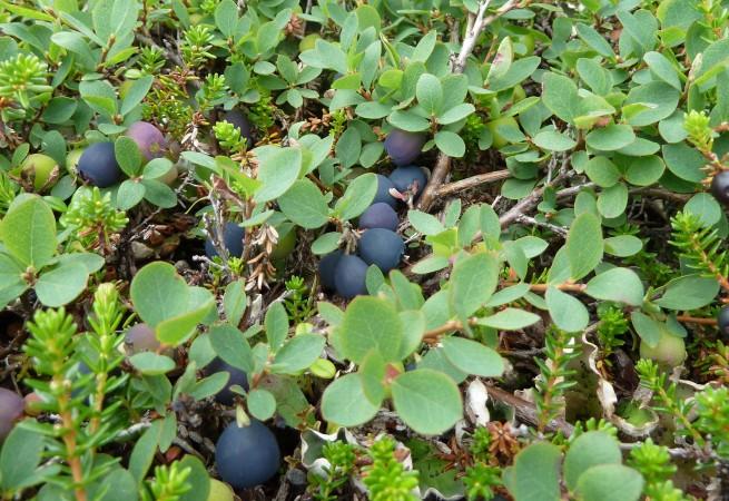 Blueberry (Vaccinium uliginosum) Photo by Mike Fitz