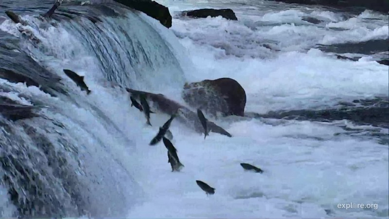 Lots of salmon attempting to jump the falls Snapshot by Bookmom
