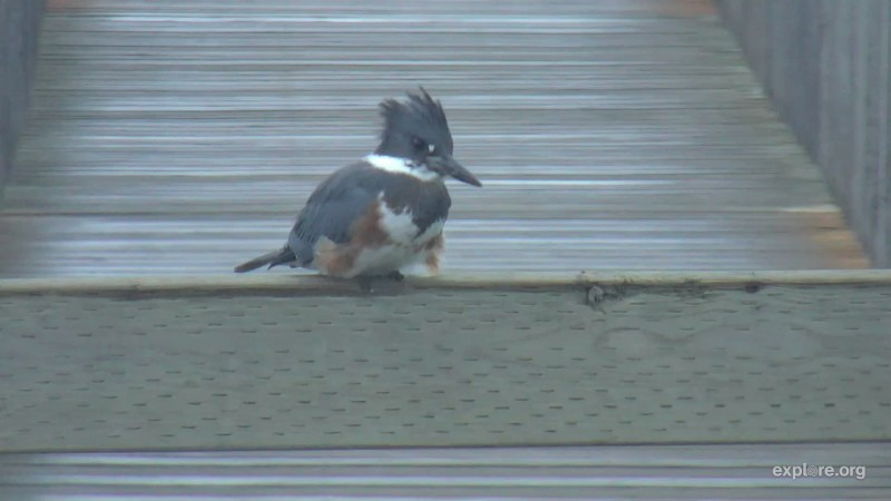 Female Belted Kingfisher Snapshot by Cam Op Mel