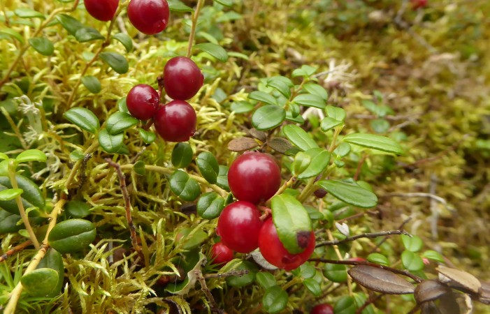 Lingonberry/Mountain Cranberry (Vaccinium vitis-idaea) Photo by Mike Fitz