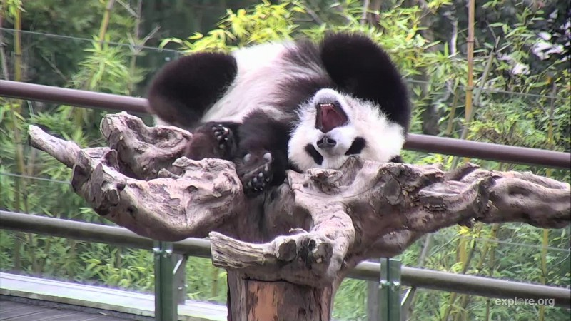 Pandas)CamOp Christine_8.27.18