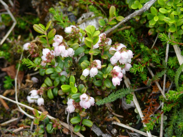 Vaccinium vitis-idaea, lingonberry or lowbush cranberry, tundra and especially coniferous forest 2