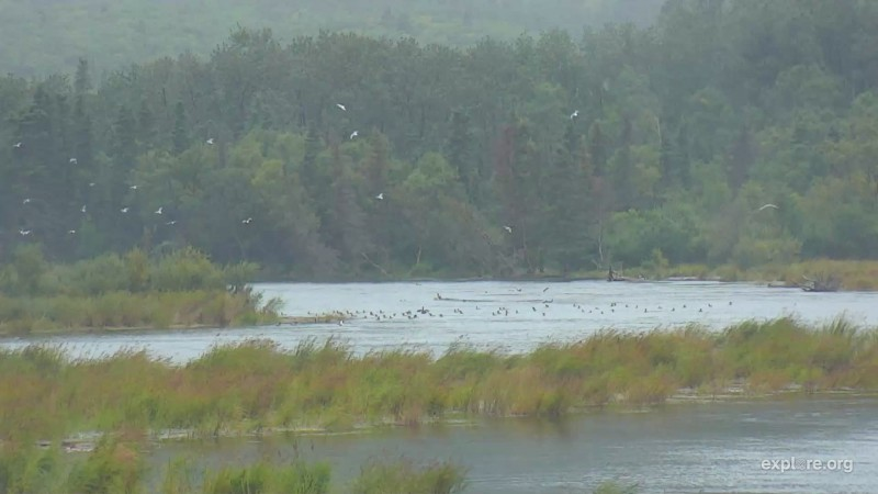 Flotilla of Mergansers Snapshot by Cam Op Scout