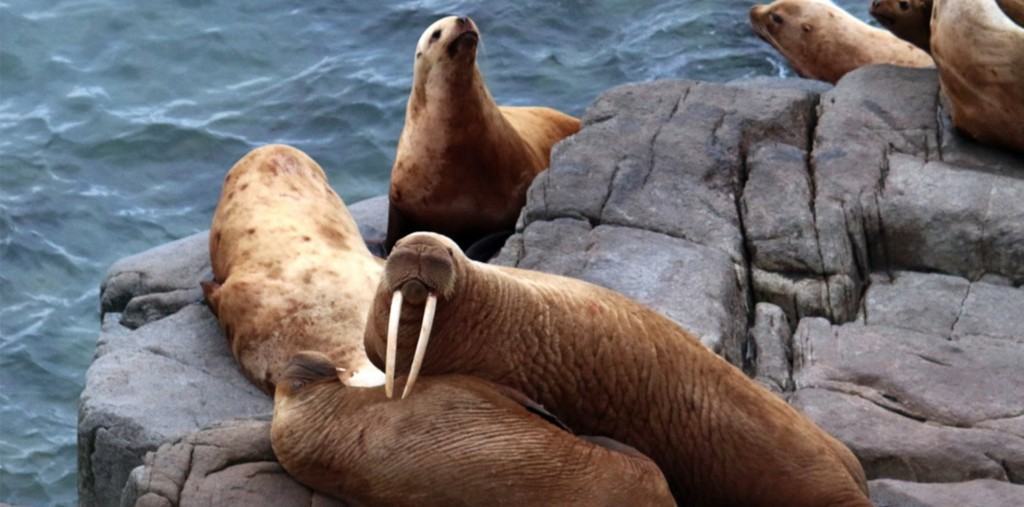 first lady walrus round island blog
