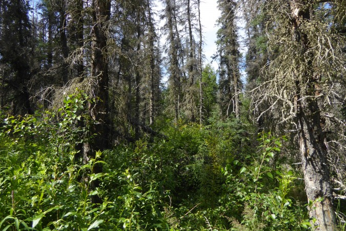 forest along Brooks Falls trail_2_07082016