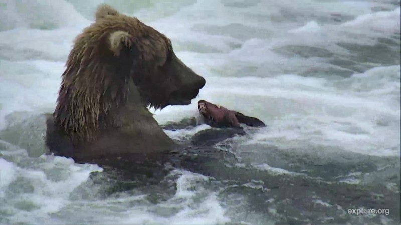 subadult with his salmon he caught in the jacuzzi Snapshot by Cam Op Scout