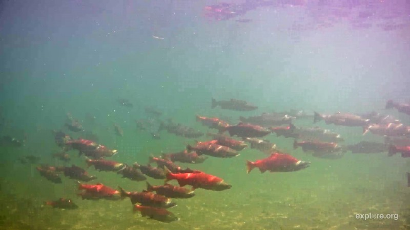 Large  group of salmon in their spawning colors Snapshot by Brenda05