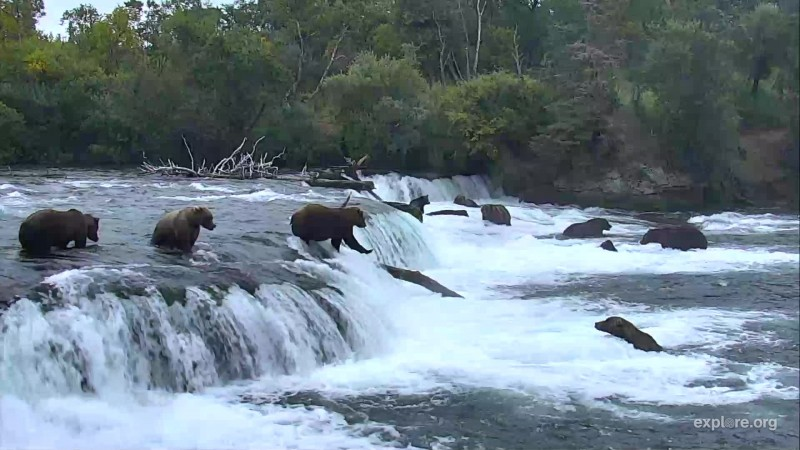 10 Bears fishing the falls Snapshot by Cam Op Maisie
