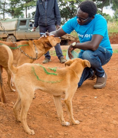 Dedan Ngatia pats some vaccinated dogs in 2017. The temporary green paint is used to prevent double vaccination.