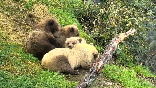 Bearcam Week  in Review September 21