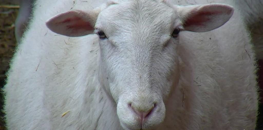 sheep farm sanctuary blog