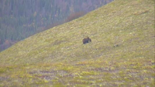 another bear grazing on Dumpling Mtn Snapshot by Larinor