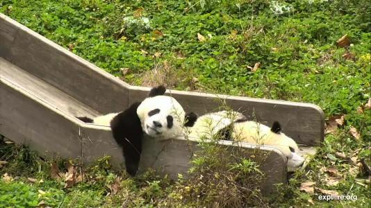 Pandas_CamOp Pandafriend_10.24.18