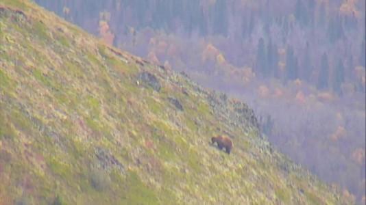 bear grazing  on Dumpling Mtn Snapshot by GreenRiver