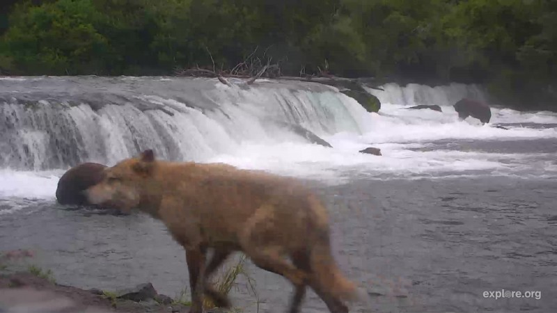 wolf at the falls Snapshot by Cam Op Kathy