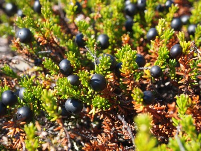 crowberry photo by Mike Fitz