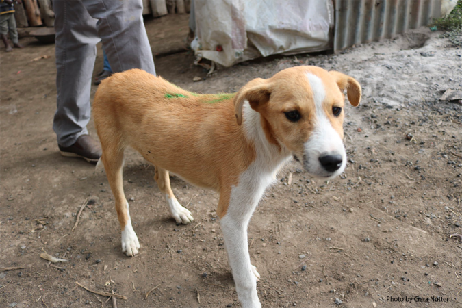 A domestic dog in Laikipia