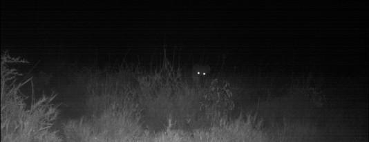 Hyena in the dark