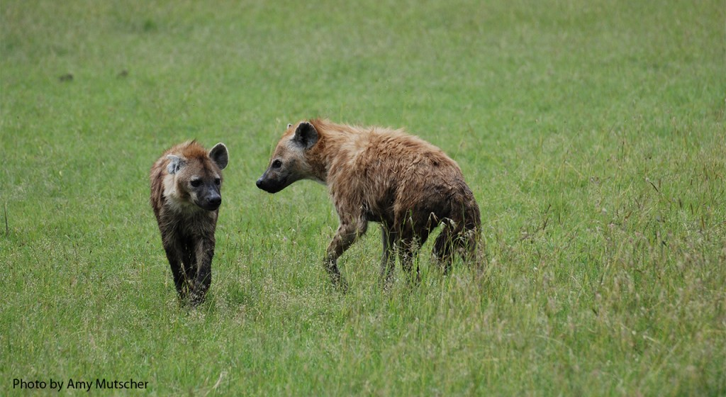 spotted-hyena_gallery_5